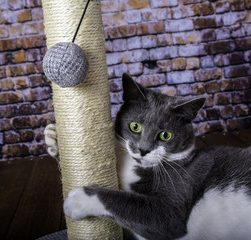 kat bruger kradsetræ